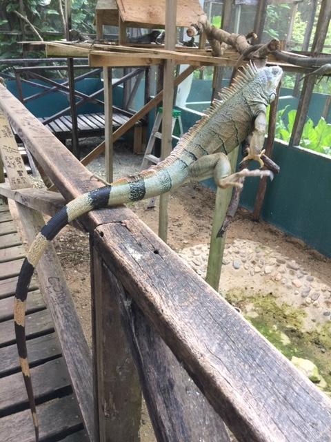 iguanaruin